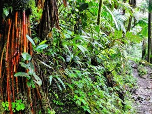 Hiking the El Yunge Rainforest