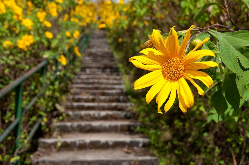 Mexican Sunflower fields