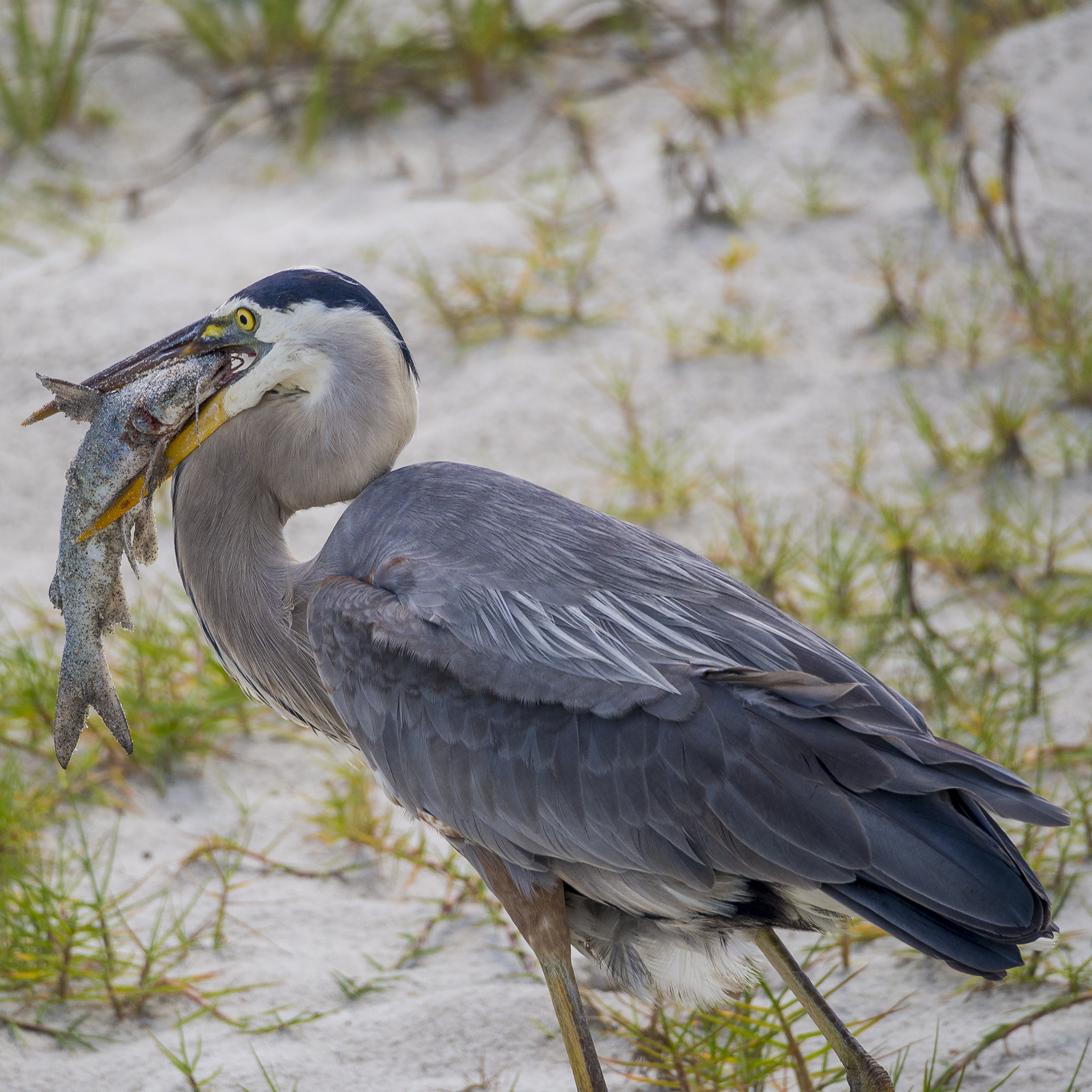 Florida blue heron