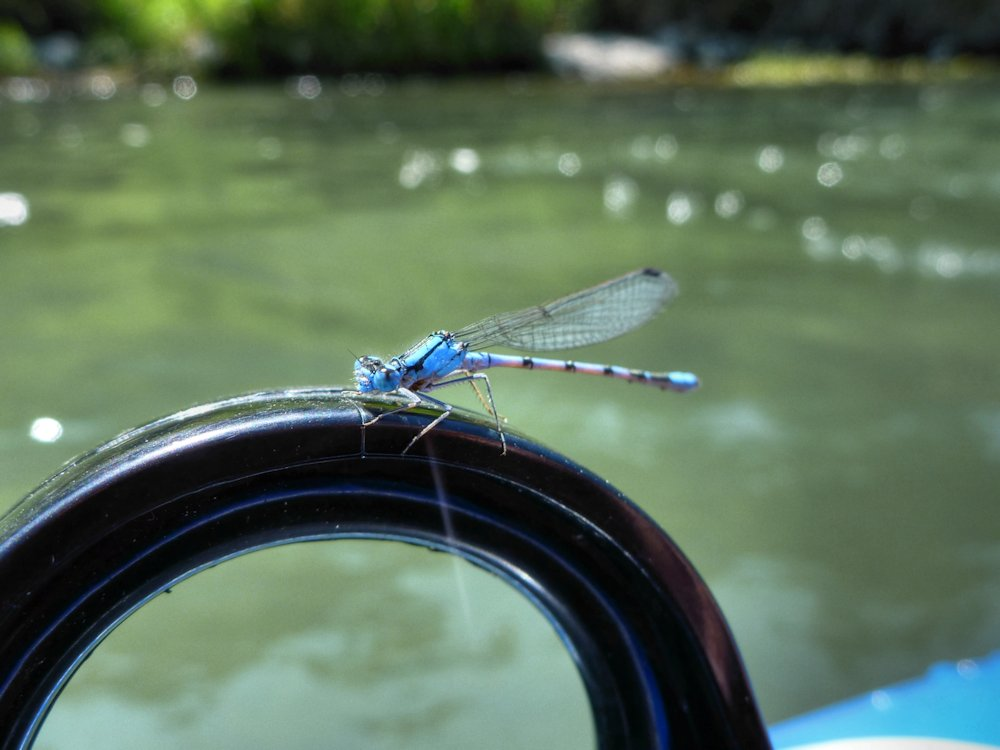 Dragon fly, Bow River, Calgary, Alberta